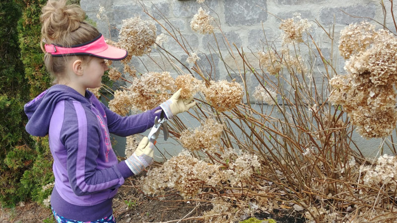 Nettoyage ouverture du terrain au printemps taille d'arbuste séparation d'arbuste