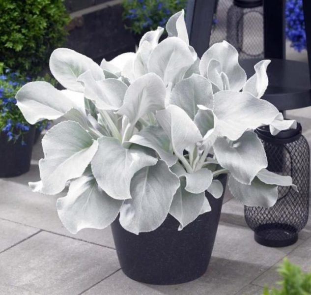 Nouvelle plante tendance: Senecio candicans angel wings «senaw» Innovations paysagées Ladouceur